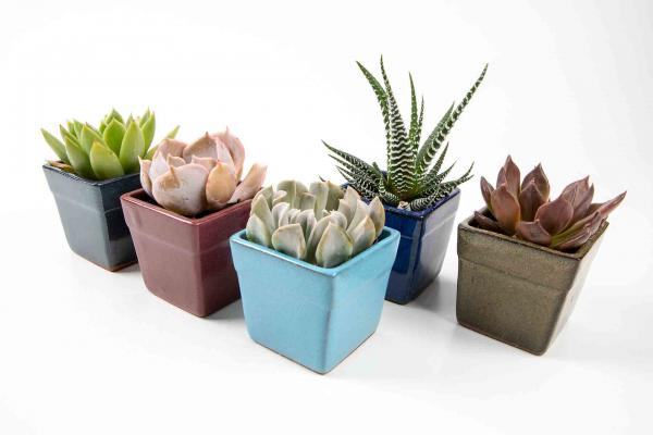 Three-Inch Succulent In Ceramic Pot
