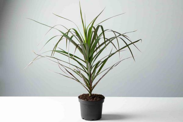 Foliage Upright