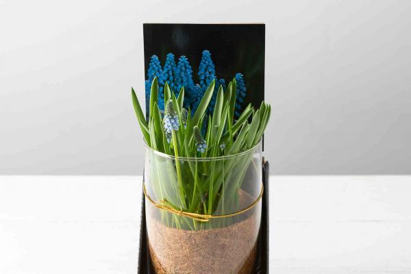 Grape Hyacinth In Glass