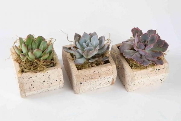 2-Inch Succulent In Wooden Box