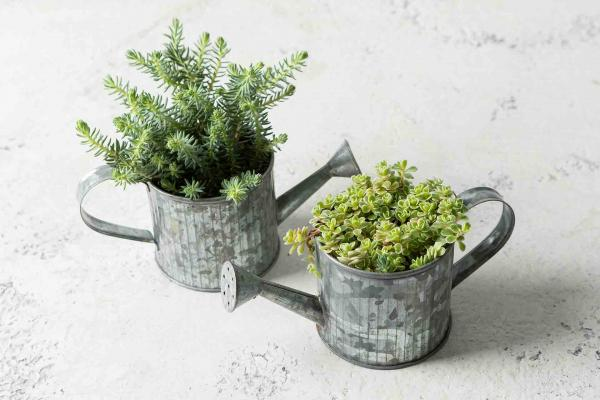 Succulent in WateringCan