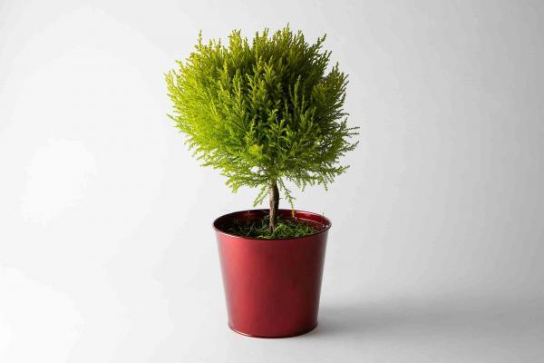Cypress Topiary In Tin